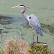Great Blue Heron Near Pond Poster
