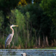 Great Blue Heron On A Handrail Poster
