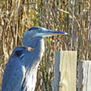 Great Blue Heron On Guard Poster