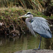 Great Blue Heron On The Watch Poster