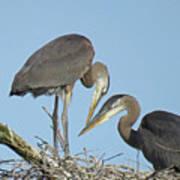 Great Blue Heron Pair Poster