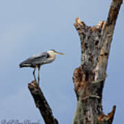 Great Blue Heron Perched Poster