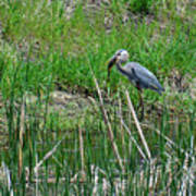 Great Blue Heron Series 5 Of 10 Poster