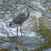 Great Blue Heron Standing In Stream Poster