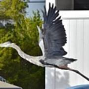 Great Blue Heron Taking Flight Poster