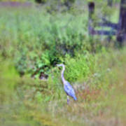 Great Blue Heron Visitor Poster