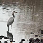 Great Blue Heron Wading 2 Poster
