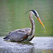 Great Blue Heron Wading Poster