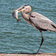 Great Blue Heron Walking With Fish #2 Poster
