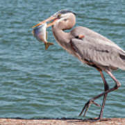 Great Blue Heron Walking With Fish #3 Poster