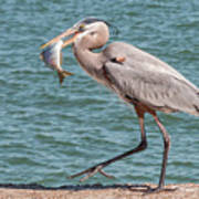 Great Blue Heron Walking With Fish #4 Poster