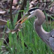 Great Blue Heron With His Catch Poster