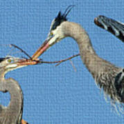 Great Blue Herons Build A Nest Poster