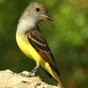 Great Crested Flycatcher Poster