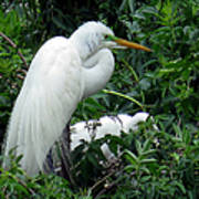 Great Egret 17 Poster