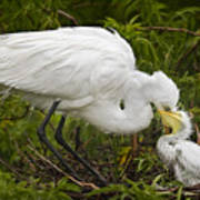 Great Egret And Chick Poster