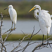 Great Egret And Snowy Egret Perched Poster