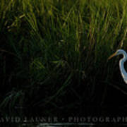 Great Egret At Ft George Inlet  Poster