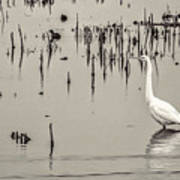 Great Egret At Horicon - B - W  Poster