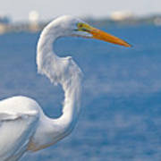 Great Egret At Melbourne Beach Poster