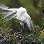 Great Egret Bridal Train Poster