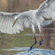 Great Egret Chase 072316-9861-2cr Poster