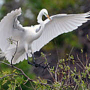 Great Egret Coming In For Landing Poster