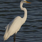Great Egret In The Last Light Of The Day Poster