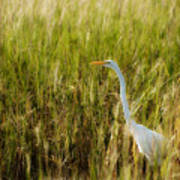 Great Egret In The Morning Dew Poster