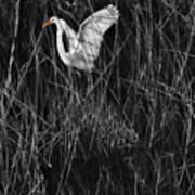 Great Egret Inthe Marsh Poster