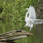 Great Egret Landing Poster