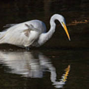Great Egret Staring At His Reflection Poster