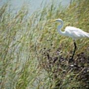 Great Egret Through Reeds Poster