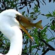 Great Egret With Catch 2 Poster