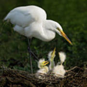 Great Egret With Chicks Poster