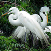 Great Egrets 10 Poster