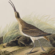 Great Esquimaux Curlew Poster