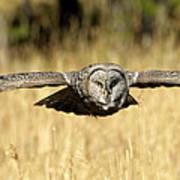Great Gray Owl In Flight Poster