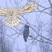 Great Gray Owl Together Poster