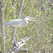 Great Heron With Mouth Open Poster