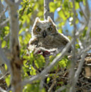Great Horned Owl Chick Poster