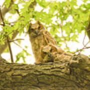 Great Horned Owl Fledglings Poster