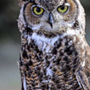 Great Horned Owl IIi Poster