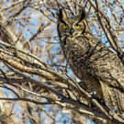 Great Horned Owl In Cottonwood Tree Poster