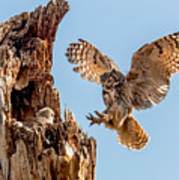 Great Horned Owl Returning To Her Nest Poster