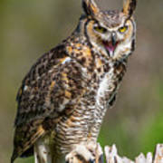 Great Horned Owl Screeching Poster