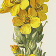 Great Mullein  Poster