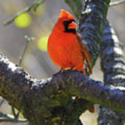 Great  Perch Male Northern Cardinal Poster