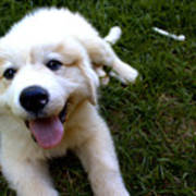 Great Pyrenees Puppy Poster