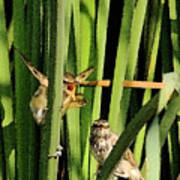 Great Reed Warbler Poster
